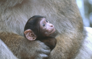 Infant born at Trentham Monkey Forest in September 2010