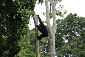 Chimp feeding in the mango tree at camp