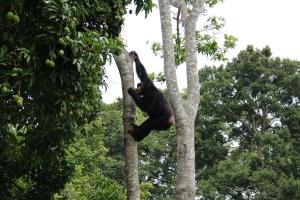 Chimp feeding in the mango tree at camp