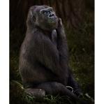 A western lowland gorilla