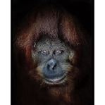 Suma the orangutan