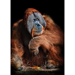 Santan the Orangutan
