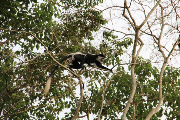 A Black and White Colobus monkey