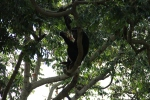 Chimpanzee feeding in the trees