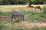 Zebra and deer - ostrich off camera - had literally buried it's head in the sand