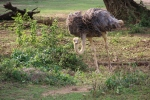 Ostrich coming up for air