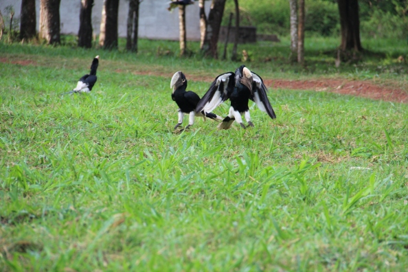 Hornbills feeding on White Ants at Budongo camp