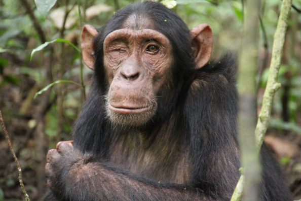 Zig, a young male chimpanzee in the Budongo Forest Reserve, Uganda