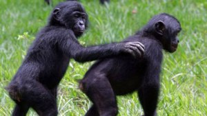 Bonobos care about others
